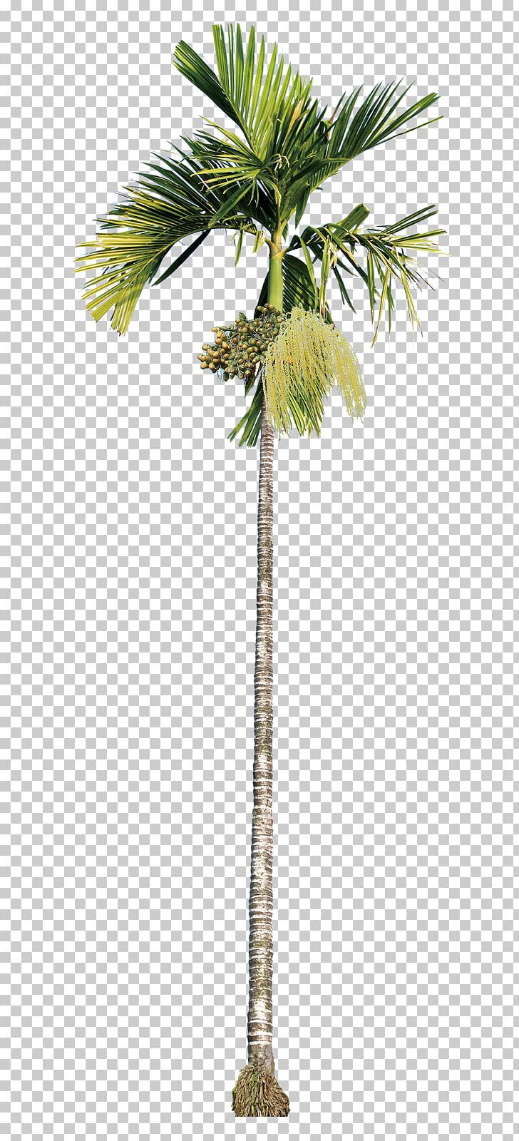 Areca palm Asian palmyra palm Areca nut Betel nut beauty.