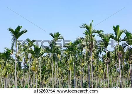 Stock Photo of Betel nut trees u15260754.