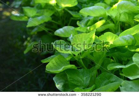 Amaranthaceae Foto, immagini royalty.