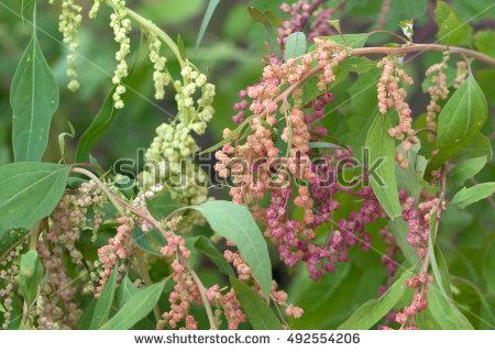 Amaranthaceae Stock fényképek, jogdíjmentes képek és vektorképek.