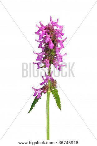Betony Images, Stock Photos & Illustrations.