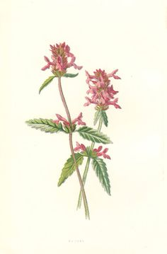 Rosa canina by Anne Pratt, published in volume 1 of Wild Flowers.