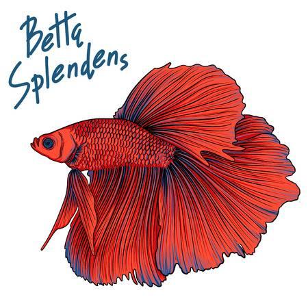 767 Betta Fish Stock Vector Illustration And Royalty Free Betta Fish.