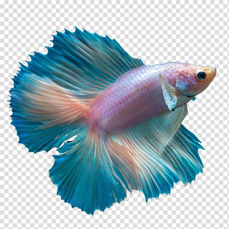 Pink and blue fish, Ku014dhaku Butterfly Koi Siamese fighting fish.