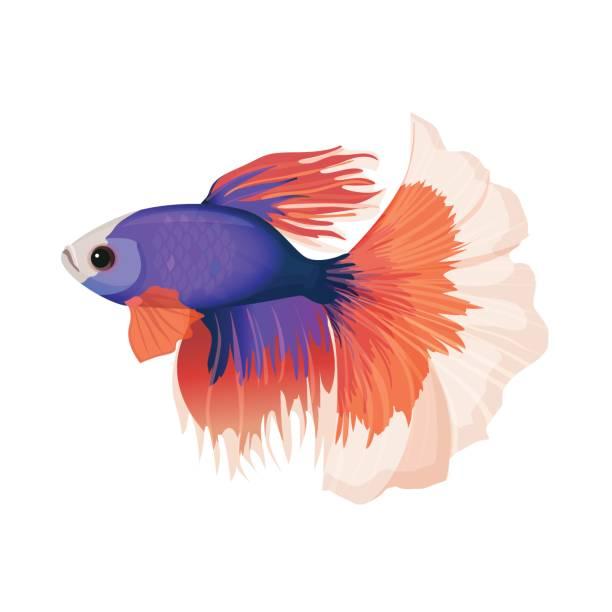 Best Betta Fish Illustrations, Royalty.