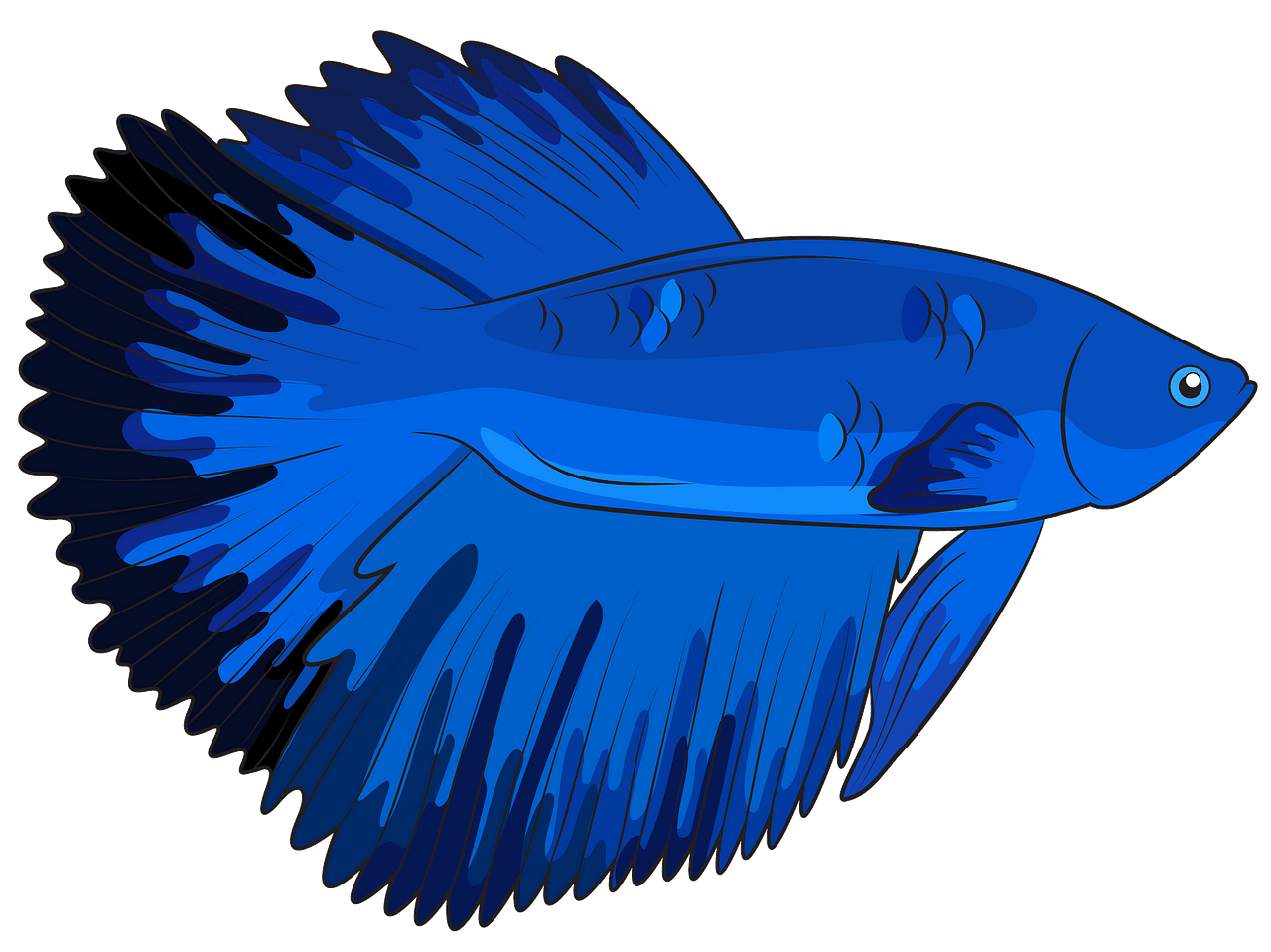 Halfmoon Betta Fish clipart. Free download..