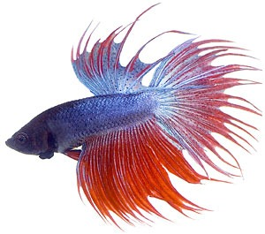 Free Betta Cliparts, Download Free Clip Art, Free Clip Art.