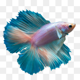 Betta Fish PNG and Betta Fish Transparent Clipart Free Download..