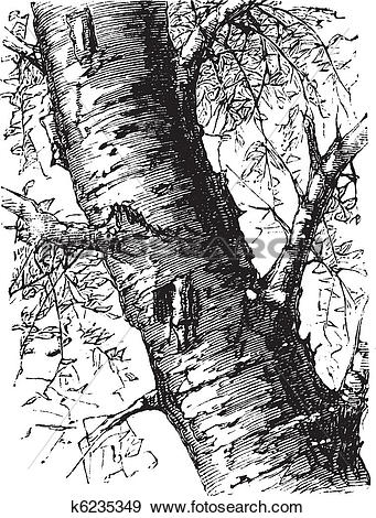 Clip Art of White Birch or Betula papyrifera, tree, trunk, vintage.