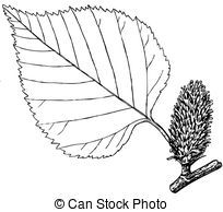 Betula Vector Clip Art Illustrations. 25 Betula clipart EPS vector.