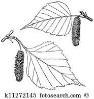 Betula Clipart Royalty Free. 24 betula clip art vector EPS.