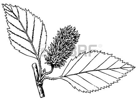 66 Betula Stock Vector Illustration And Royalty Free Betula Clipart.