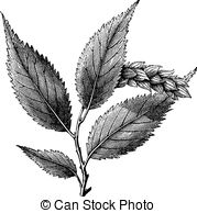 Betulaceae Clip Art and Stock Illustrations. 27 Betulaceae EPS.