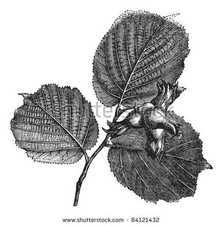 Betulaceae Stock Vectors & Vector Clip Art.