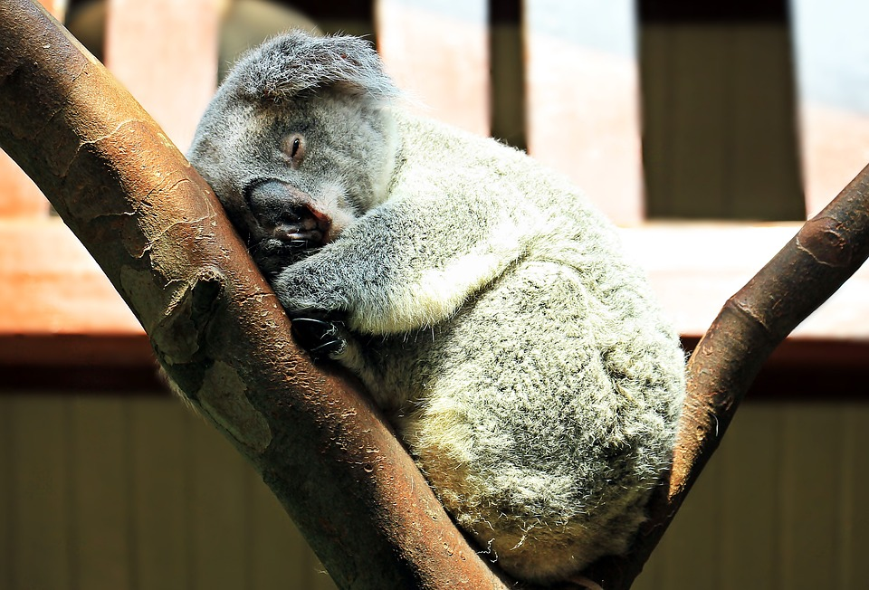 Free photo Koala Ashen Koala Purry Animal Rest Cuddly Sweet.