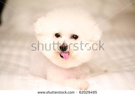 Bichon Frise Puppy Stock Photos, Royalty.