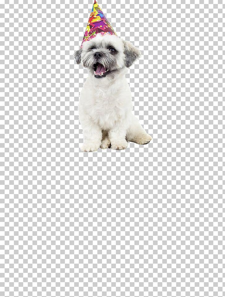 Havanese Dog Puppy Bichon Frise Shih Tzu Quick Quick Danger.