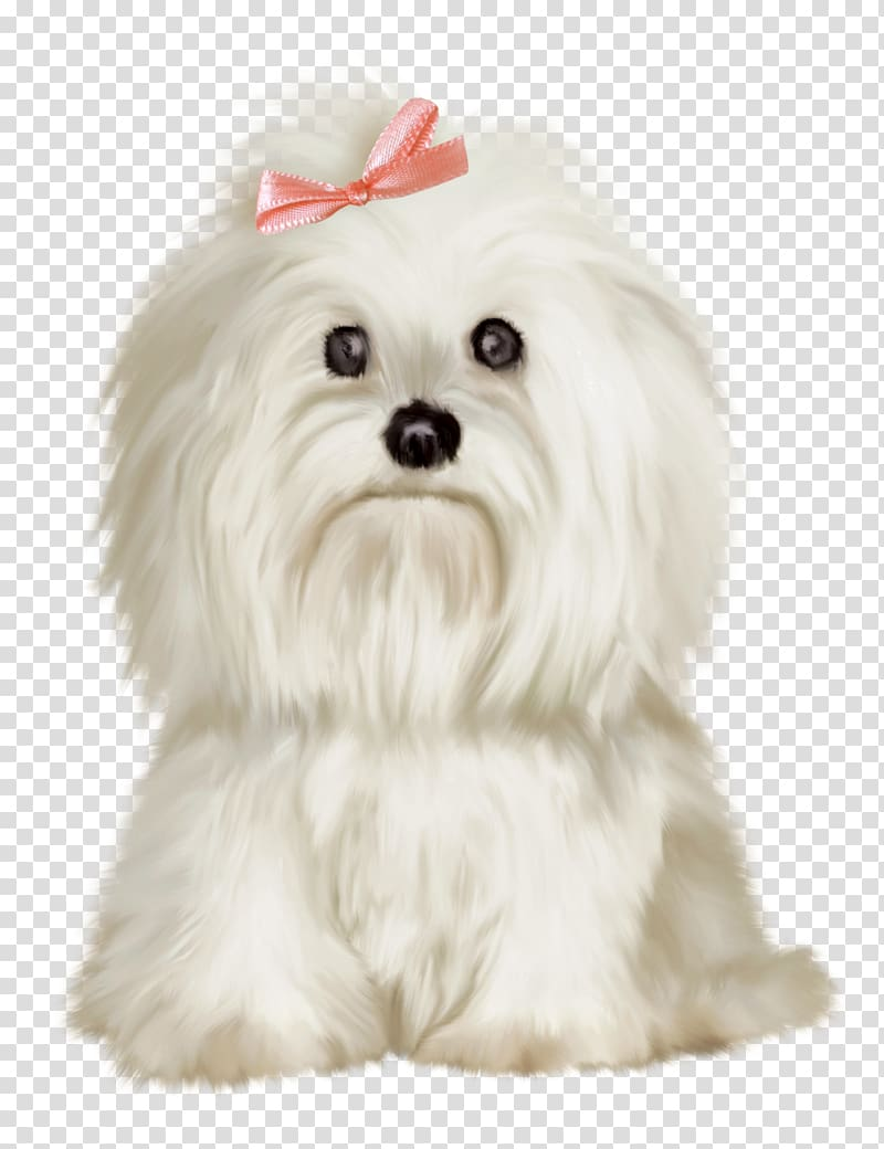 Adult white Maltese illustration, Maltese dog Golden.