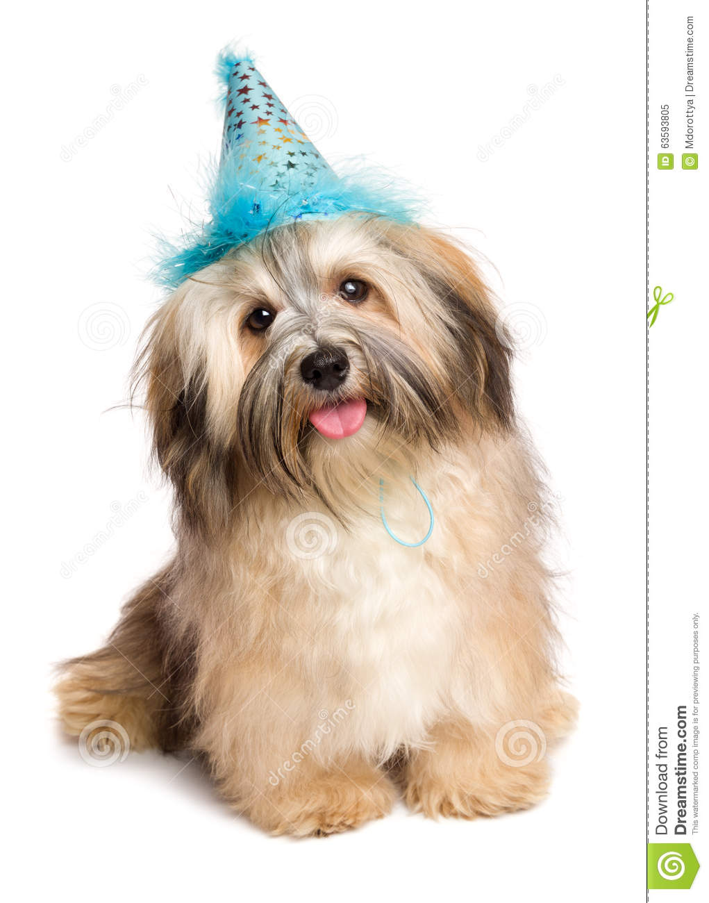 Happy Bichon Havanese Puppy Dog In A Blue Party Hat Stock Photo.