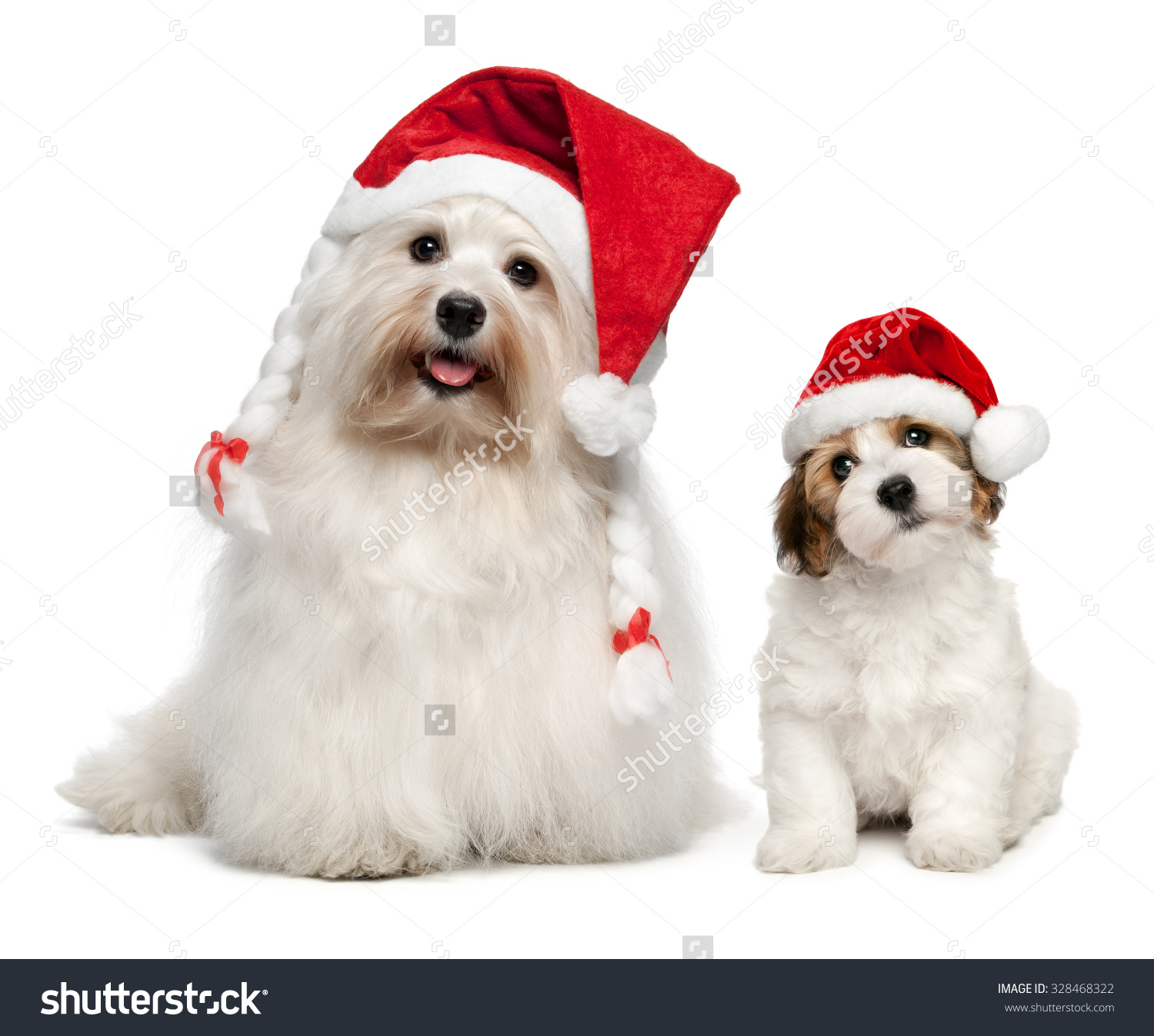 Father And Son Bichon Havanese Dogs In Christmas Hats. Isolated On.