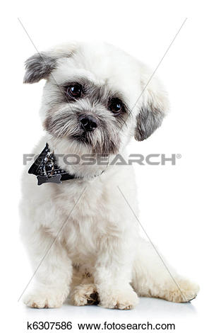 Stock Images of curious small bichon havanese puppy k6307586.