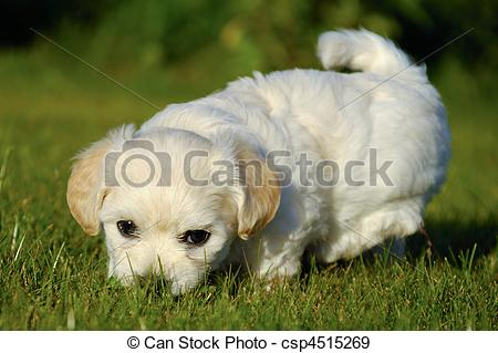 Stock Photographs of Bichon Havanais puppy dog.