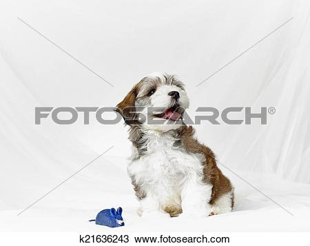 Stock Photo of Bichon havanese puppy k21636243.