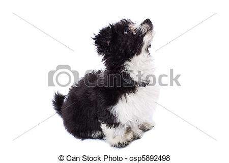 Pictures of havanese bichon looking up.