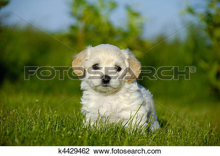 Stock Photo of Bichon Havanais puppy dog k4429462.