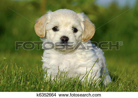 Stock Photo of Bichon Havanais puppy dog k6352664.