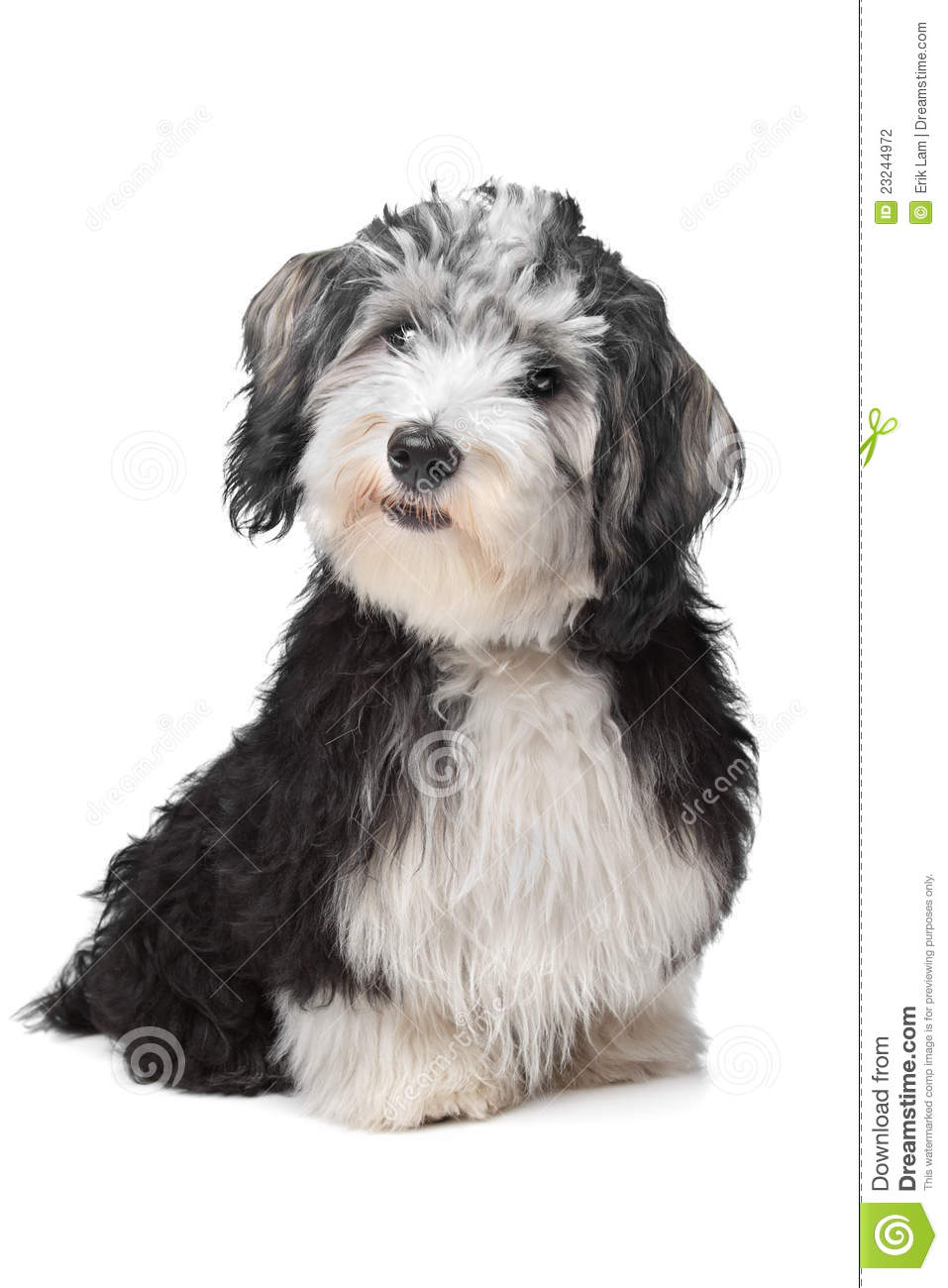 Havanese Bichon Stock Photography.
