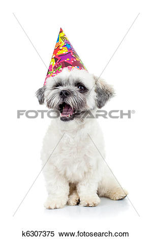 Stock Image of party puppy bichon havanese k6307375.