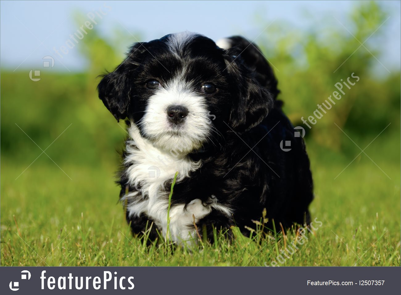 Picture Of Bichon Havanais Puppy Dog.