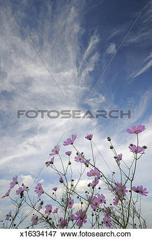Picture of Cosmos (Bidens formosa) Flowers under cloudy sky.