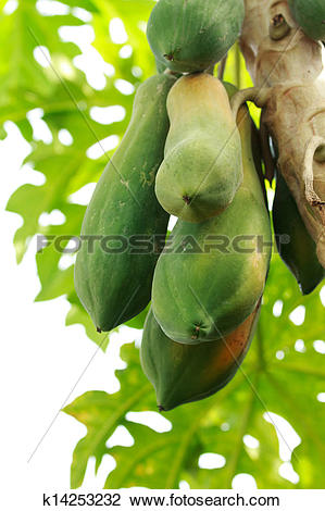 Stock Photo of Papaya plants biennial useful. To do many things.