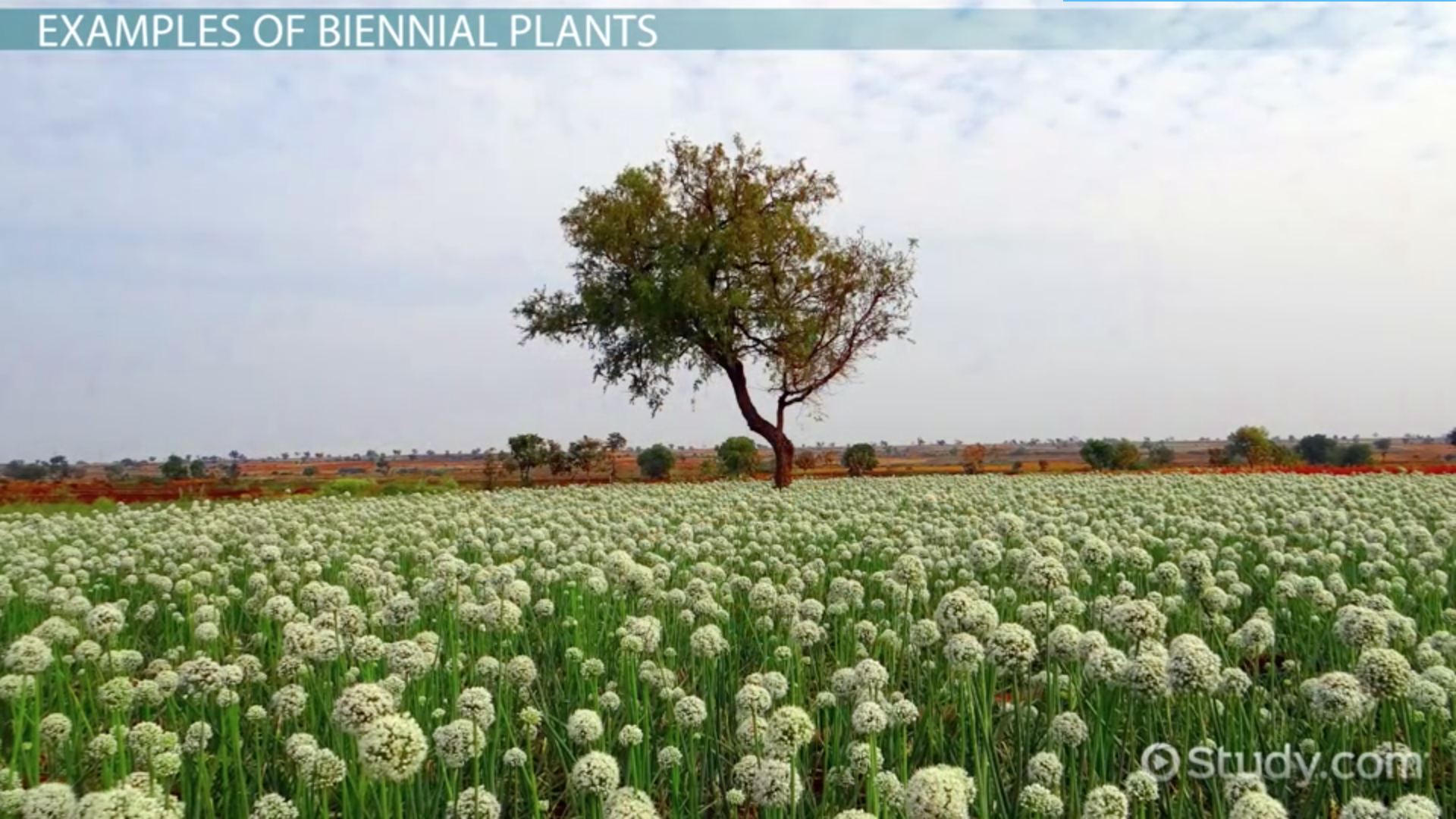 Dicotyledon Plants: Examples & Definition.