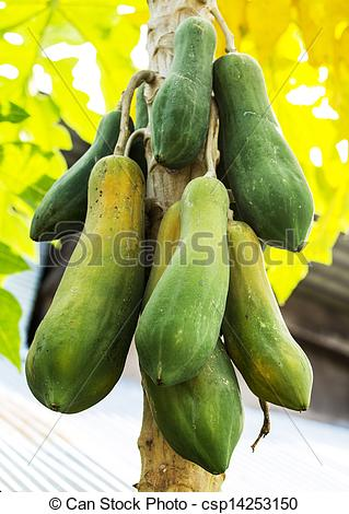 Stock Images of Papaya plants biennial useful. To do many things.