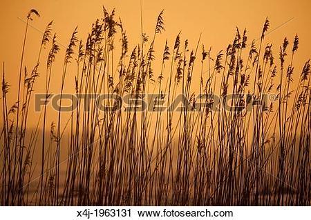 Stock Photography of reed cutting in national park 'de Biesbosch.