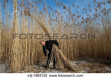 Stock Photo of reed cutting in national park 'de Biesbosch' in.