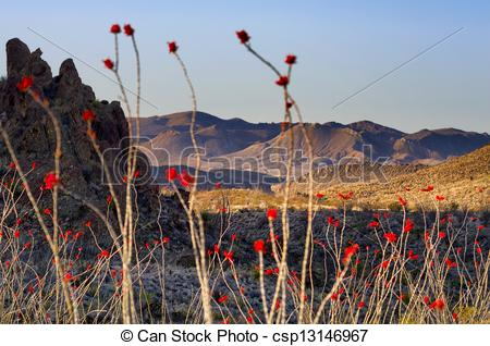Stock Image of Ocotillo Plants in Big Bend.