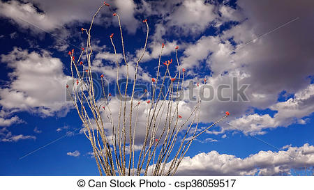 Stock Photography of Flowering Ocotillo Cactus, Sky and Clouds in.