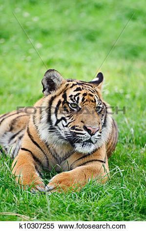 Stock Image of Portrait of Sumatran Tiger Panthera Tigris Sumatrae.
