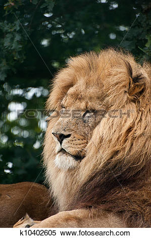 Stock Image of Portrait of King of the Jungle Lion Panthera Leo.