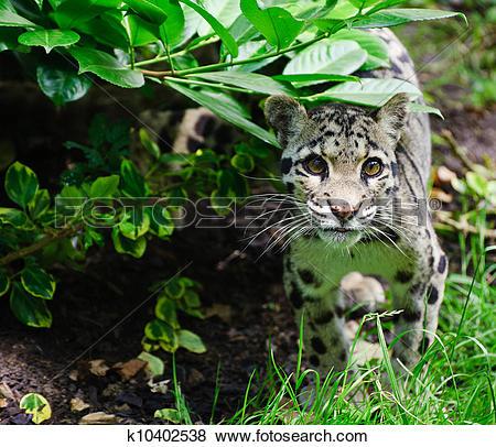Pictures of Clouded leopard Neofelis Nebulova big cat portrait.