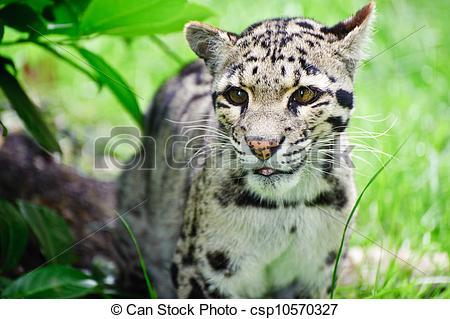 Stock Photo of Clouded leopard Neofelis Nebulova big cat portrait.