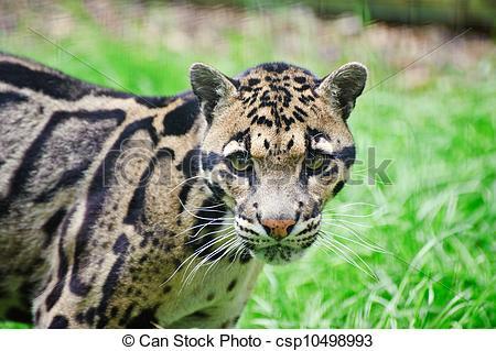Stock Photographs of Clouded leopard Neofelis Nebulova big cat.