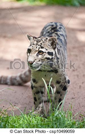 Stock Images of Clouded leopard Neofelis Nebulova big cat portrait.