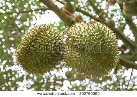 Durian Trees Garden Chanthaburi Stock Photo 99343754.