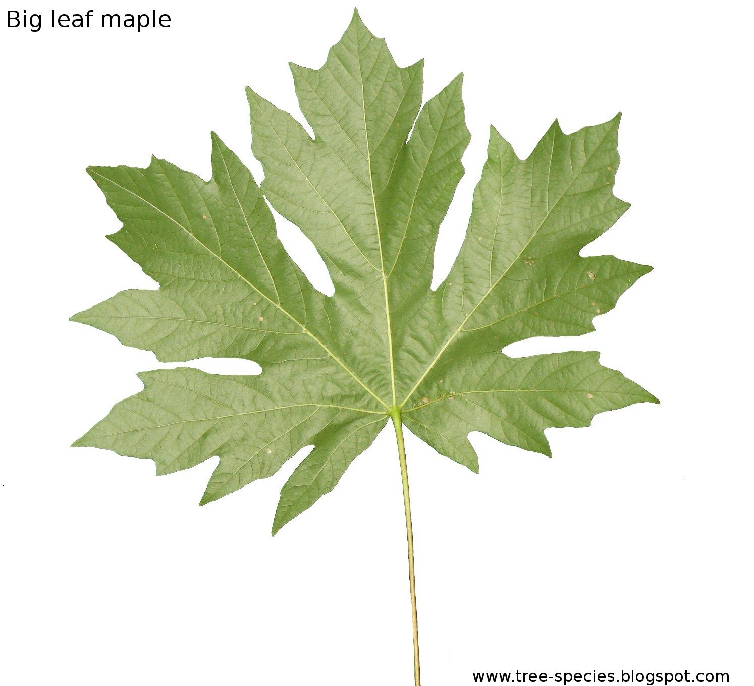 Similiar Big Leaf Keywords.