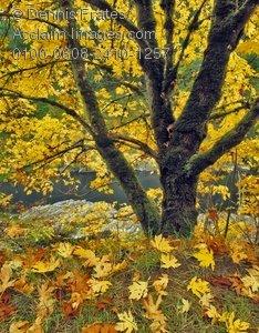 Big Leaf Maple Tree Clipart.